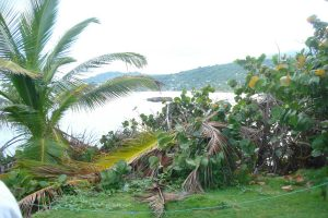 Long Bay Portland Coconut Palm Tree of life